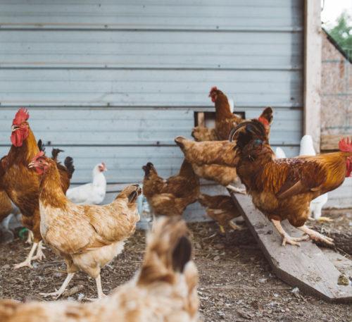 Actividad postbiótica en avicultura