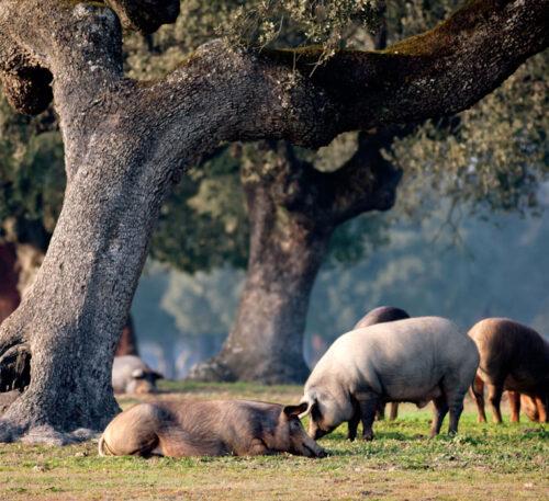 Posbióticos para el porcino ibérico