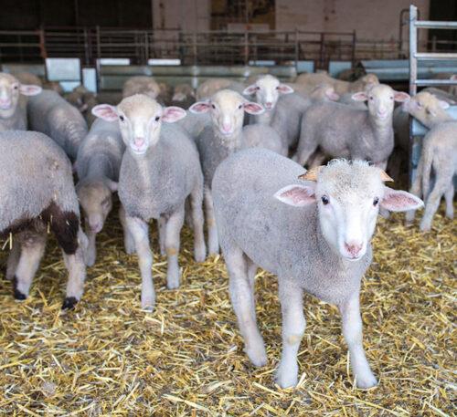 Nuevos posbióticos de ungulados para corderos